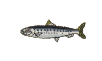 鰯 sardine