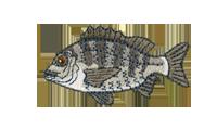 黒鯛 Acanthopagrus schlegelii