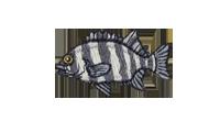 石鯛 Striped beakfish
