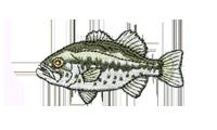 Micropterus