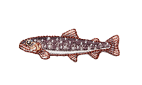 岩魚 Salvelinus