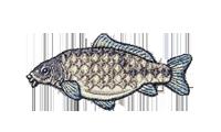 鯉 Cyprinus carpio carp