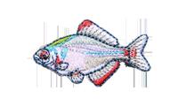 鰱 Acheilognathus melanogaster
