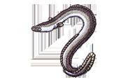 鰻 eel Anguilla japonica