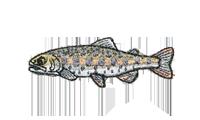 山女魚 Cherry trout