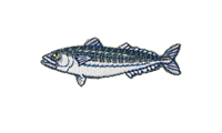 鯖 Mackerel Caranx ignobilis