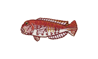 甘鯛 Tilefish