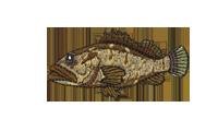 垢穢 Longtooth grouper