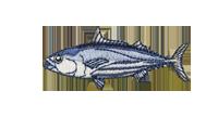 鰹 skipjack tuna