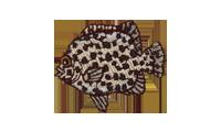 石垣鯛 Spotted Knifejaw