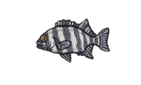 石鯛 Striped beakfish