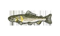 鮎 Plecoglossus altivelis