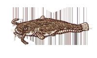 鯰 Acheilognathus melanogaster