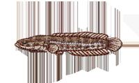 雷魚 Snakehead