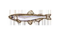 公魚 Hypomesus nipponensis Japanese smelt